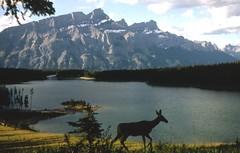 Banff National Park (sofarsocute 'ignore faves ONLY') Tags: banff deer wildlife canada alberta banffnationalpark