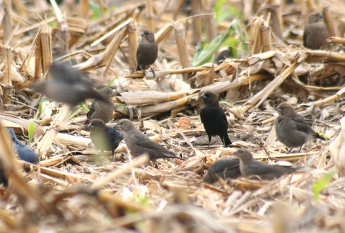 brown-headed cowbird flock 2