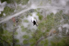 Spider on a wet morning
