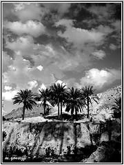 palm   نخلستان