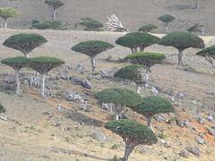 Socotra Dragon Trees (Dracaena cinnabari), Diksam Plateau (twiga_swala) Tags: plateau dixam diksam سُقُطْرَى