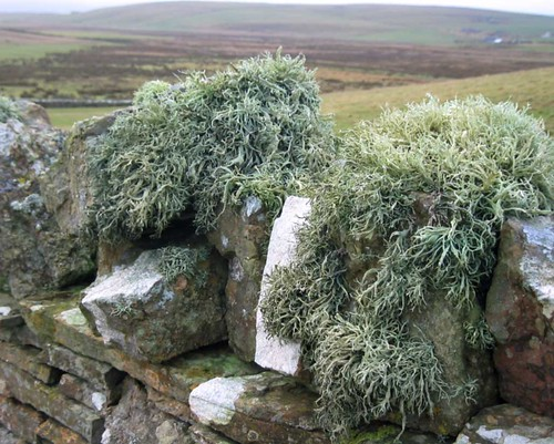Orkney Lichen, stone wall in clean air of Orkney Islands