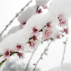 "Almond Blossom and Snow • <a style=""font-size:0.8em;"" href=""https://www.flickr.com/photos/87605699@N00/2355656714/"" target=""_blank"">View on Flickr</a>"