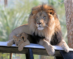 "Watch what happens when baby lion ""Ekundu"" climbs on his dad(video link below) (kjdrill) Tags: california park wild usa cats baby animal cub video dad sandiego affection african father lion parent lions fv10 exoticcats bigcats izu offspring interaction escondido 100faves sanpasqualvalley goldstaraward 3170a flickrbigcats"