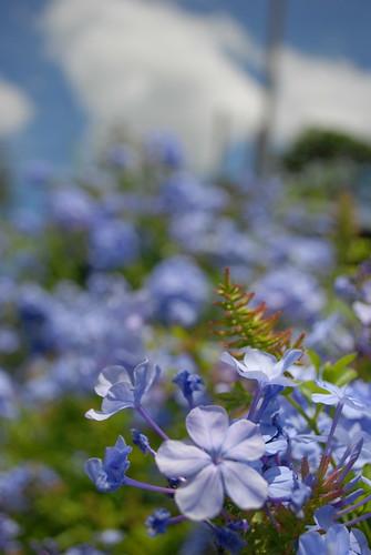 FLowers// Blue Petals