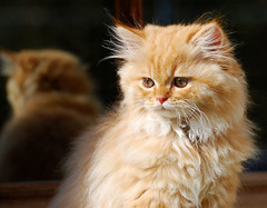 Shiri and reflection (Abdalla Naas) Tags: reflection animal cat persian reflexions shiri d80 cc100 kissablekat