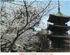 sakura20080414信濃國分寺