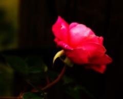 Dreams (edwardleger) Tags: life flower nature beauty rose hope live dream 2008 edwardleger edwardnleger