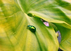 He is green (Elanorya) Tags: verde green animal leaf calla natura foglia terra aria insetto naturesfinest theperfectphotographer ahqmacro