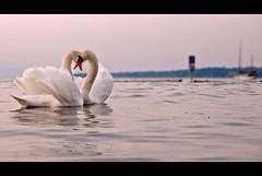 Sunset lovers (edouardv66) Tags: sunset lake color love nature water animal switzerland swan nikon suisse geneva pastel lac d200 leman genève 18200 vr cygnes eauxvives babyplage