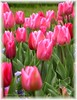 Pink, Pink Pink ! (Jean-christophe 94) Tags: pink flowers rose fleurs tulipe jc94 jeanchristophe94