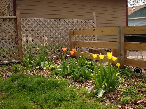 Yay, tulips!
