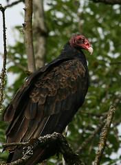 Turkey Vulture Portrait (Ta-DaTami) Tags: bird nature vancouver washington wildlife national animalplanet refuge ridgefield 123nature
