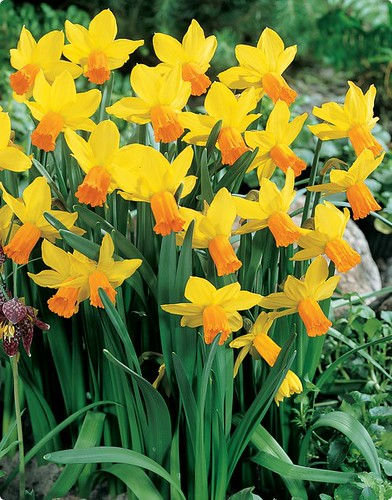 Daffodil 'Jetfire' by you.