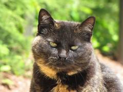 Chelsea (Hazboy) Tags: cat newjersey kat chat chelsea kitty gata neko katze macska cica חתול pussycat poes kočka kedi katt pusa piscataway gati kocka кот katinas แมว hazboy hazboy1 बिल्ली κατηγορία پشو