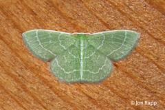 07058 Synchlora aerata - Wavy-lined Emerald or Camouflaged Looper 3 (Hawn) (MO FunGuy) Tags: moth lepidoptera missouri hawnstatepark synchloraaerata wavylinedemerald 7058 camouflagedlooper