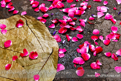 Rose Petals from the streets of Vrindavan