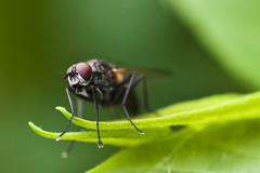 Macro : Fly (Xanis_WFN) Tags: macro fly bugs pentaxkx pentaxsmcpda35mmf28