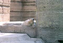 Eisbär im Schatten