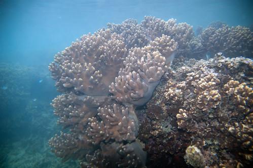 soft coral Sinularia sp.