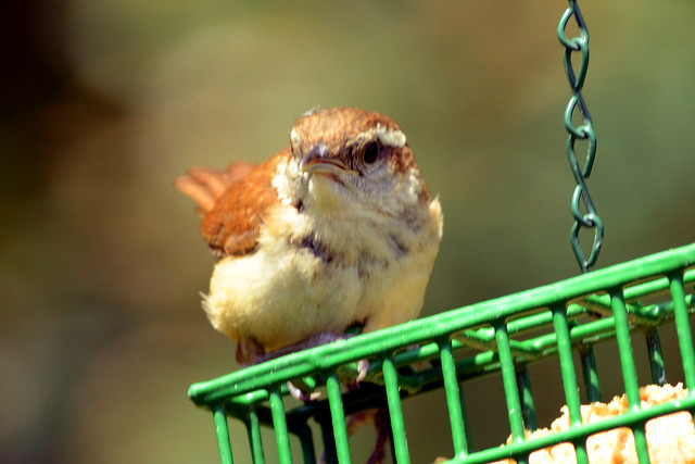 baby wren feeder 2  june 2011