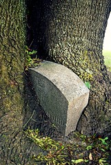 swallowed (...Gail...) Tags: tree tombstone treetrunk surprise trunk 100words