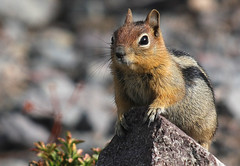Chip (4Durt) Tags: craterlake spermophilussaturatus curttoumanian cascadegoldenmantlegroundsquirrel
