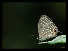 On the edge! (swaheel) Tags: wallpaper india macro nature closeup canon butterfly insect bokeh metallic kerala powershot s2is cerulean butterflyindia commoncerulean jamides jamidesceleno anawesomeshot bochus diamondclassphotographer swaheel