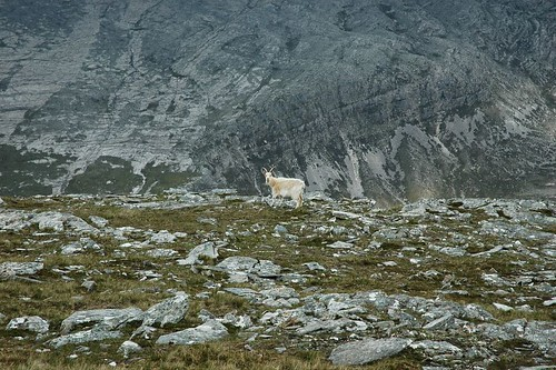 Wild goat on Creag Rainich
