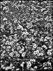 (.emily.) Tags: flowers blackandwhite bw plants white daisies bunch tons alot amillion