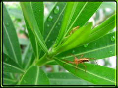 Common Lynx Spider on Oleander leaf, shot October 24, 2007
