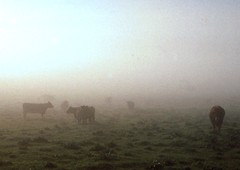 sun vs haar (seligr) Tags: light scotland orkney cattle haar 35mmslide