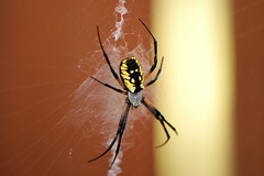black and yellow argiope (photoplanet2007) Tags: nature animals garden mom spider legs wildlife bugs creepy invertebrate arachnology predatory blackandyellowargiope cephalothorax prosoma jasonebrobst