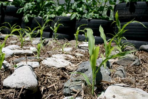 Sweetcorn Plants