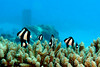 Whitetail Dascyllus on the Coral, Saipan (_takau99) Tags: ocean trip travel november blue sea vacation holiday fish uw nature water topv111 island lumix islands topv555 topv333 asia underwater topv444 dive scuba diving topv222 panasonic pacificocean tropical scubadiving topv666 mariana 2007 saipan b29 cnmi fx30 takau99 dmcfx30 northernmariana wondersea