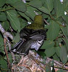 048 Olive-backed Oriole back view (Oriolus sagittatus) (Jen 64) Tags: bird nest australia brisbane queensland 2007 kalingapark