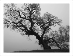 california oak and fog (on2wheelz) Tags: california blackandwhite bw color tree fog landscape photography photo interesting oak scenery quality marin olympus marincounty archer zuiko oly theoak marinwood jeffav artlegacy bwartaward jarcher on2wheelz jeffav2007 jarcher000 archerphotography