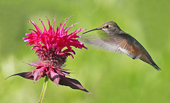 Rufous Hummingbird and Bee Balm (janruss) Tags: bird hummingbird explore npc soe bergamot themoulinrouge rufoushummingbird naturesfinest lifeasiseeit supershot shieldofexcellence goldmedalwinner colorphotoaward diamondclassphotographer flickrdiamond megashot excellentphotographerawards adoublefave natureoutpost bestofsummer betterthangood thegardenofzen goldstaraward goldstarawardexcellence natureselegantshots 100commentgroup colorphotoawardbronze colorphotoawardsilver colorphotoawardgold pollinationstation saariysqualitypictures janruss janinerussell newgoldenseal