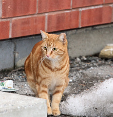 orange guy front2 (Laurie_P) Tags: cats lostcat feralcat straycats alleycats abandonedcat homelesscats