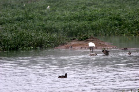 green sandpiper is in the pic, right of the egret