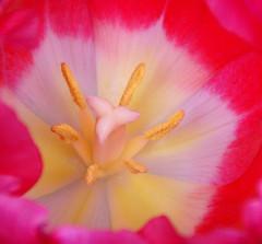 have a nice sunday.... (atsjebosma) Tags: white flower macro rose heart nederland thenetherlands tulip wit bloem tulp 10faves masterphotos ultimateshot
