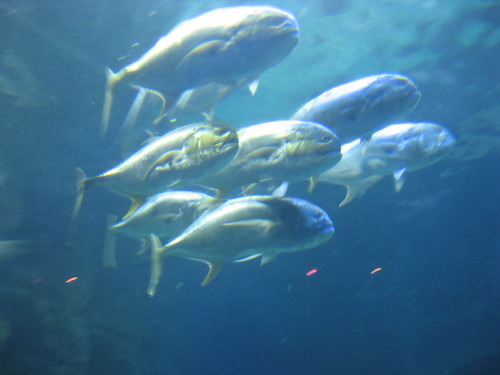 VA Aquarium - School of Fish