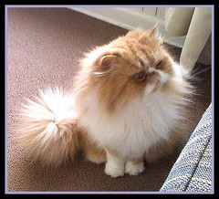 Toby Hi (iwork4toby) Tags: red toby cat persian persiancat redpersian theworldisbeautiful redpersiancat luv2explore
