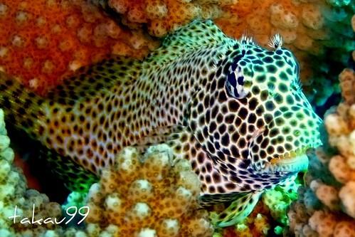 Leopard Blenny in Antler Coral, Thailand