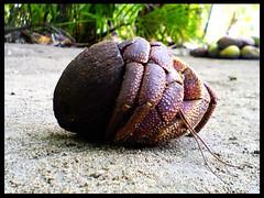 Baraveli ( a hermit crab) (marxinicx) Tags: hermitcrab coconut crab maldives mazin maazin marzin aplusphoto baraveli simplymaldives betterthangood xinam nerworld uniquemaldies moderncrab