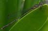 Damselfly (Kobus101) Tags: macro nature garden flying fuji insects damselfly betterthangood theperfectphotographer s5800