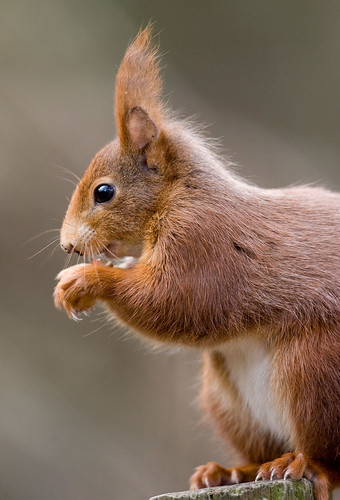 Red Squirrel Sciurus vulgaris
