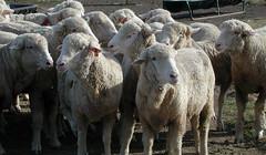 Rambouillet ewes