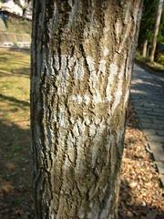 楓香的樹皮