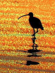 Dance of the Curlew, Morro Bay, California (moonjazz) Tags: ocean california shadow sea orange bird beach silhouette yellow photoshop skinny one coast sand pacific legs wildlife beak amarillo solo lamar morrobay curve speckled stance feathered curlew audobon longbilledcurlew shorebird avairy numeniusamericanus superbmasterpiece excellentphotographer
